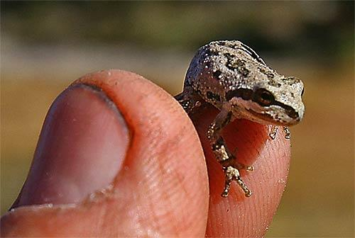 A tiny tree frog is found along the trail between Garnet and Thousand Island lakes.