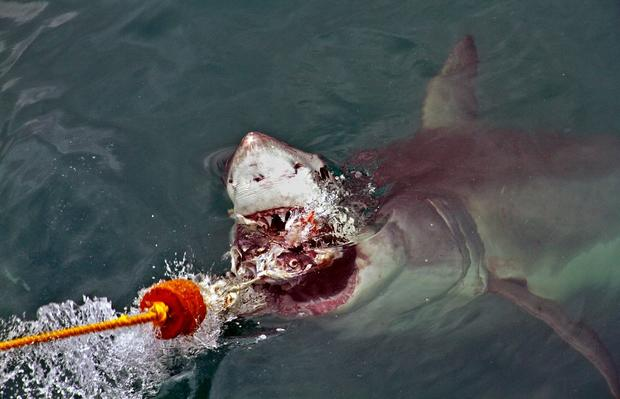 A shark gets up close and personal during an excursion off the Overberg coast.