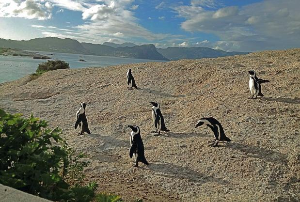 The inhabitants of the penguin preserve at Simonstown, south of Cape Town on the Cape Peninsula, face a setting sun.