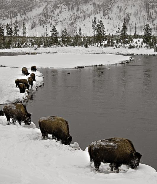 Snow-dusted bison stand by the water.