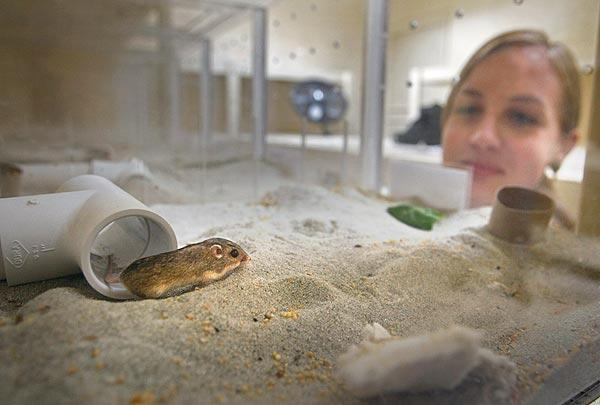 Maryke  Swartz, senior research technician at the San Diego Zoo Institute for Conservation Research observes a Pacific pocket mouse at the institute's captive breeding facility in Escondido. The 1.5-inch-long mouse was caught on the Camp Pendleton military base, where the species clings to existence on a firing range.