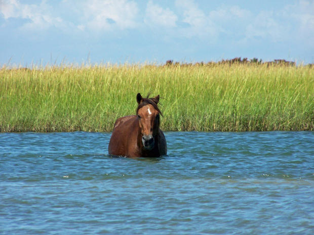 A wild stallion crosses a creek on Shackleford Banks.