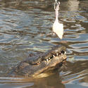 <b>Kissimmee:</b> Old-fashioned roadside attraction lives on in Gatorland