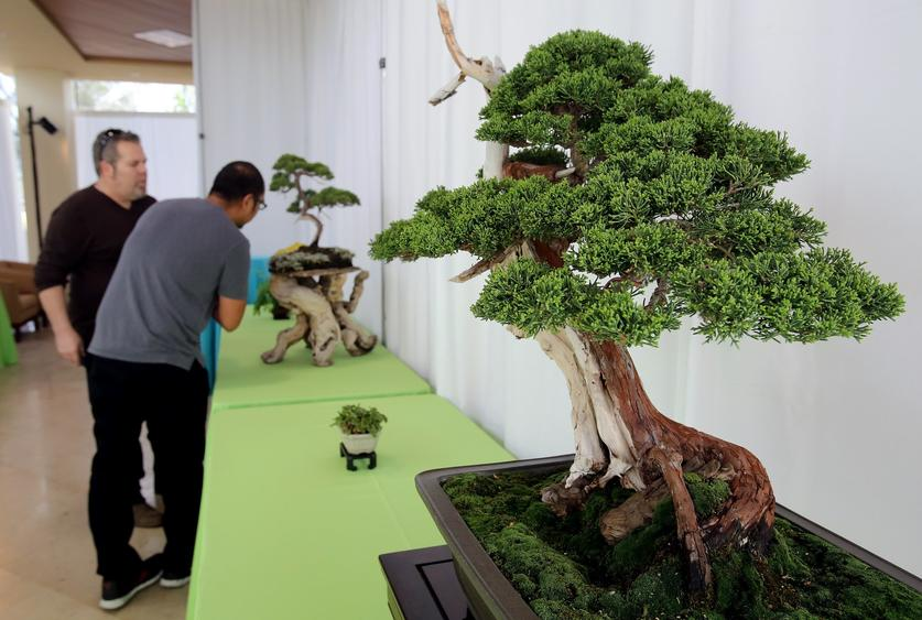 The Beauty Of Bonsai On Exhibit In Escondido Hartford Courant