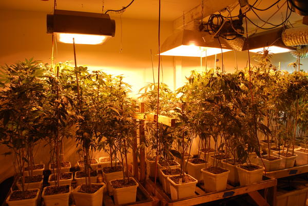 Glendale police seized 700 marijuana plants, some of which are pictured above, during their raid Wednesday night, May 23.