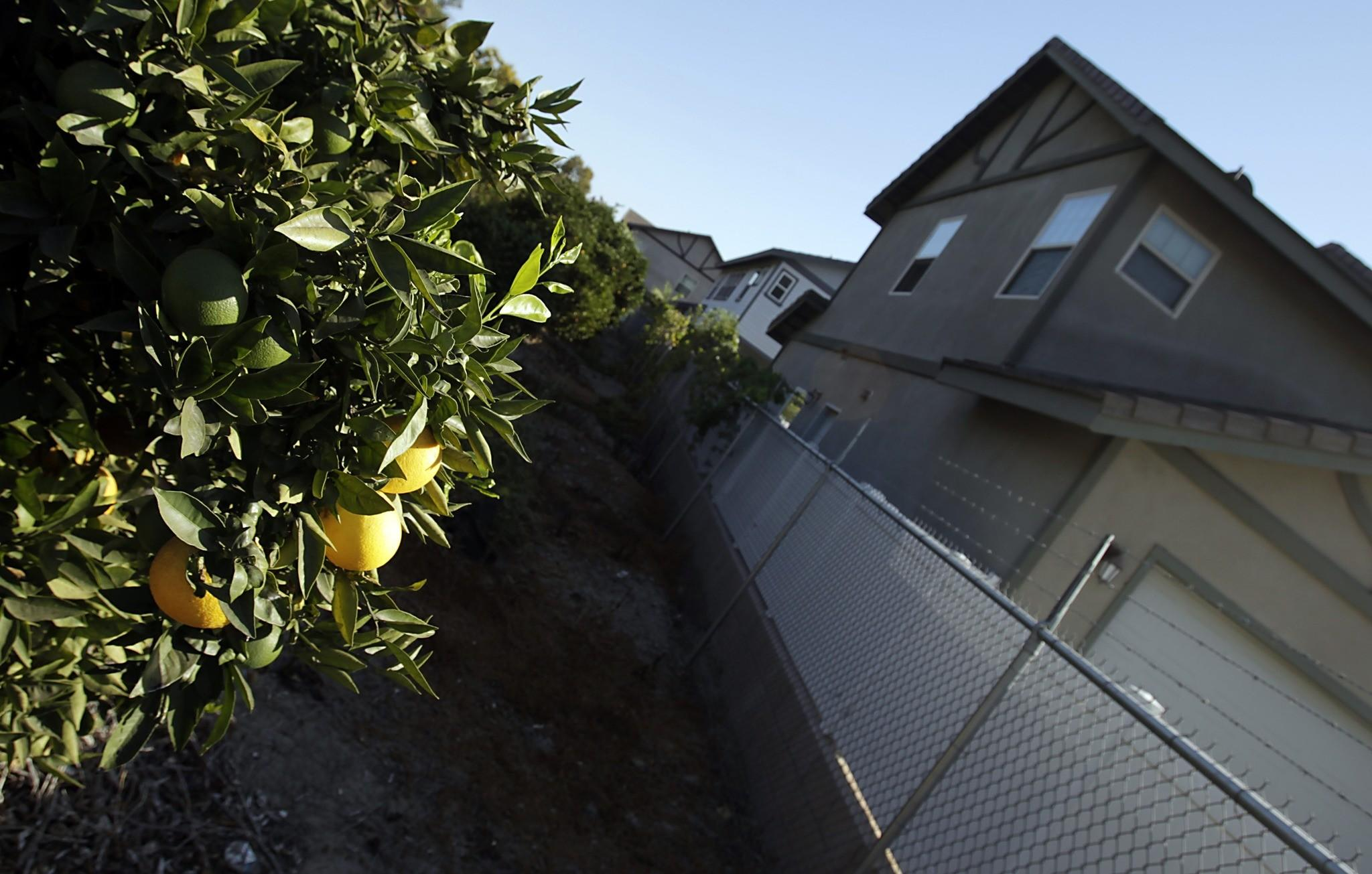 Anaheim was once synonymous with oranges; now, the only grove left standing is tucked away at the corner of Harbor and West Santa Ana Street. It's also the site of the first battle of the 1936 Citrus War, in which striking orange pickers clashed with police. (Luis Sinco / Los Angeles Times)