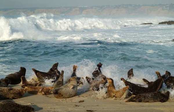 Slumbering Harbor Seals Rise Up As A Wave Hits Them At Children S Pool Beach In La