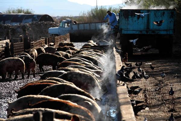 Nevada pig farmer relishes role as recycler - Los Angeles Times