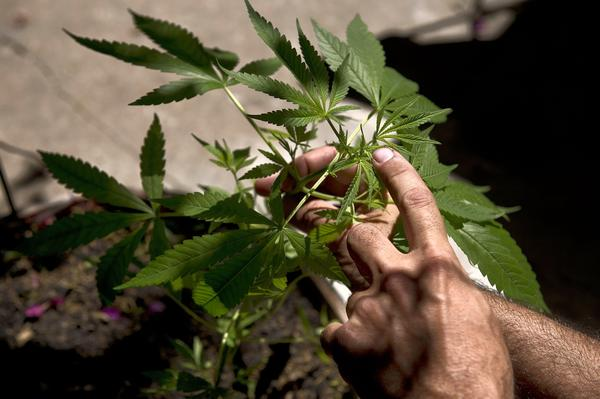 A man shows a cannabis sativa plant in Montevideo on December 7, 2012.