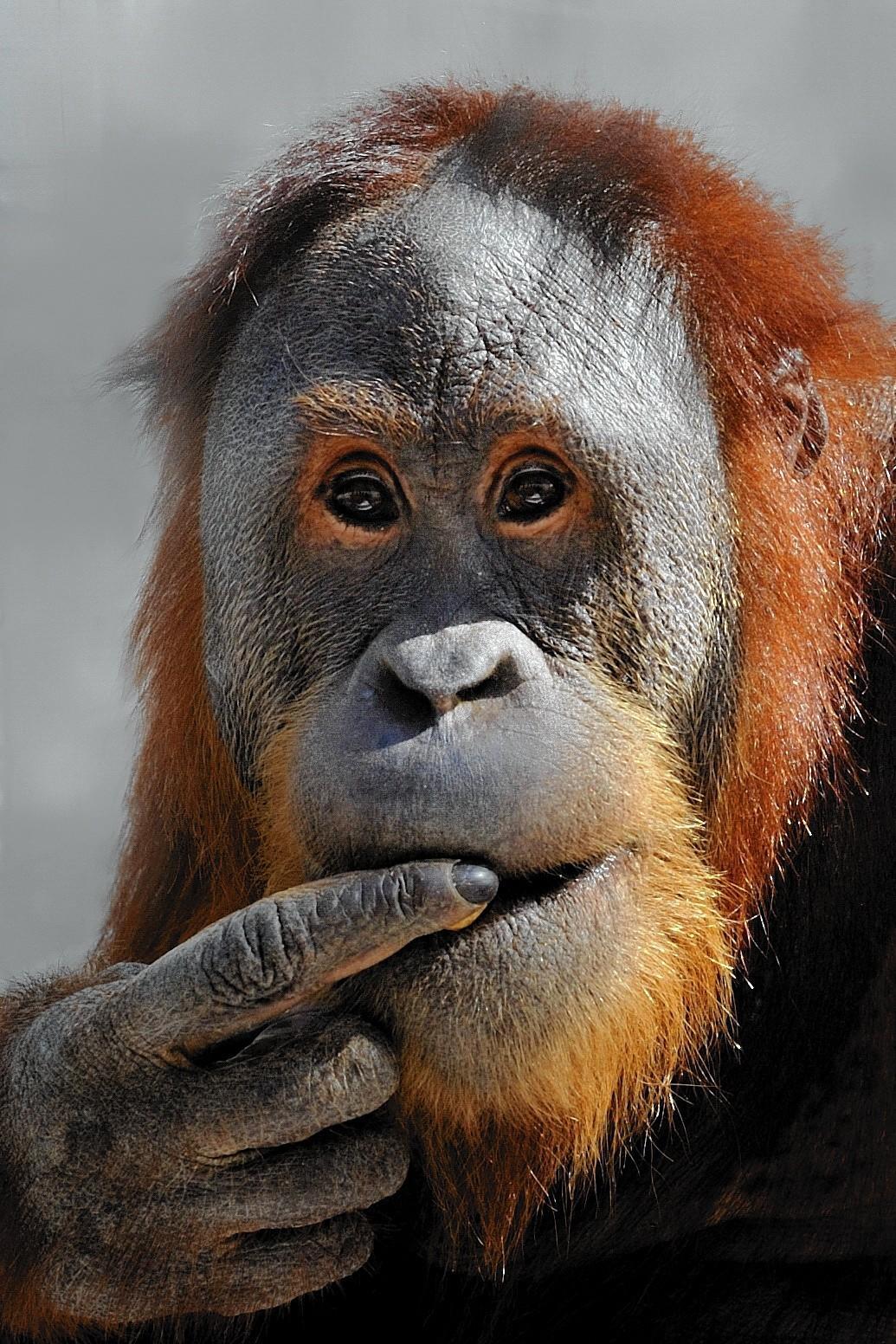 Orangutans Get New Digs At Indianapolis Zoo