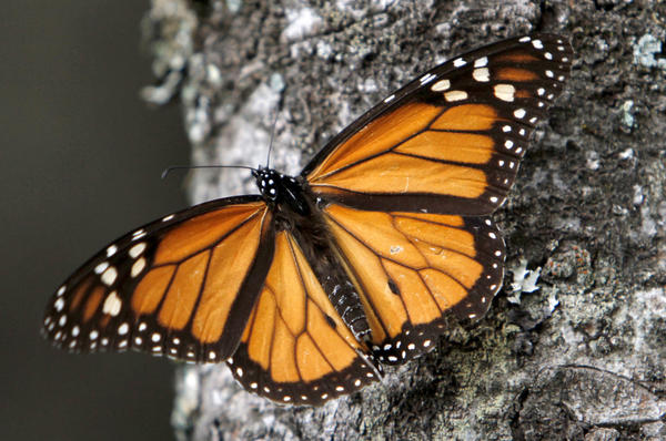 A monarch rests on a tree trunk in the Sierra Chincua butterfly sanctuary in the mountains of Mexico's Michoacan state. (Marco Ugarte / Associated Press / December 10, 2011)