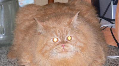 pictures fat cats chicago tribune