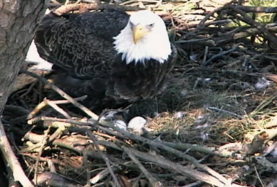 ARCHIVE: Eagle eggs set to hatch any day at Norfolk Botanical Garden - Daily Press