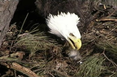 Third and final egg hatches in bald eagle nest at Norfolk Botanical Garden - Daily Press