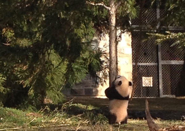 Bao Bao's first day outside at Washington's National Zoo