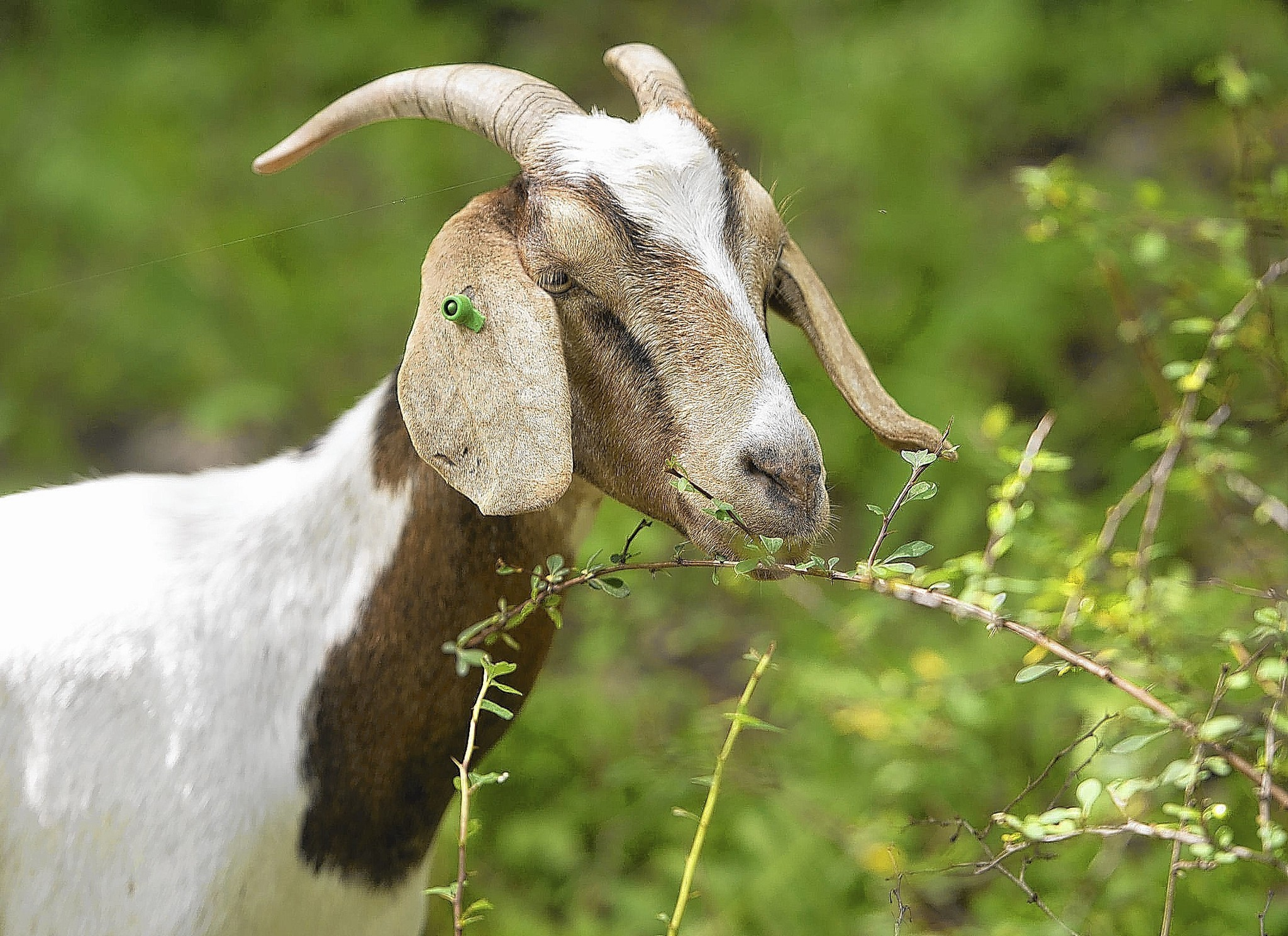 Goats manage stilt grass at Hawk Mountain Sanctuary - The Morning Call