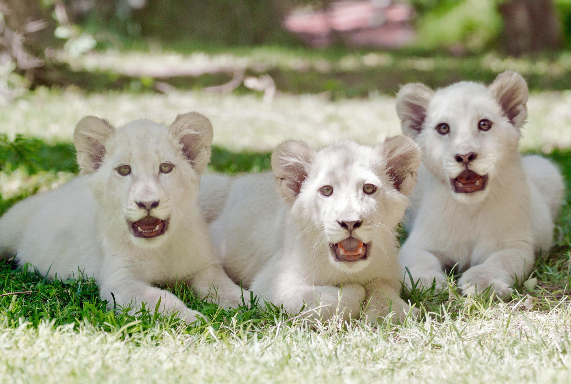 Las Vegas: Three white lion cubs take up residence at the ...