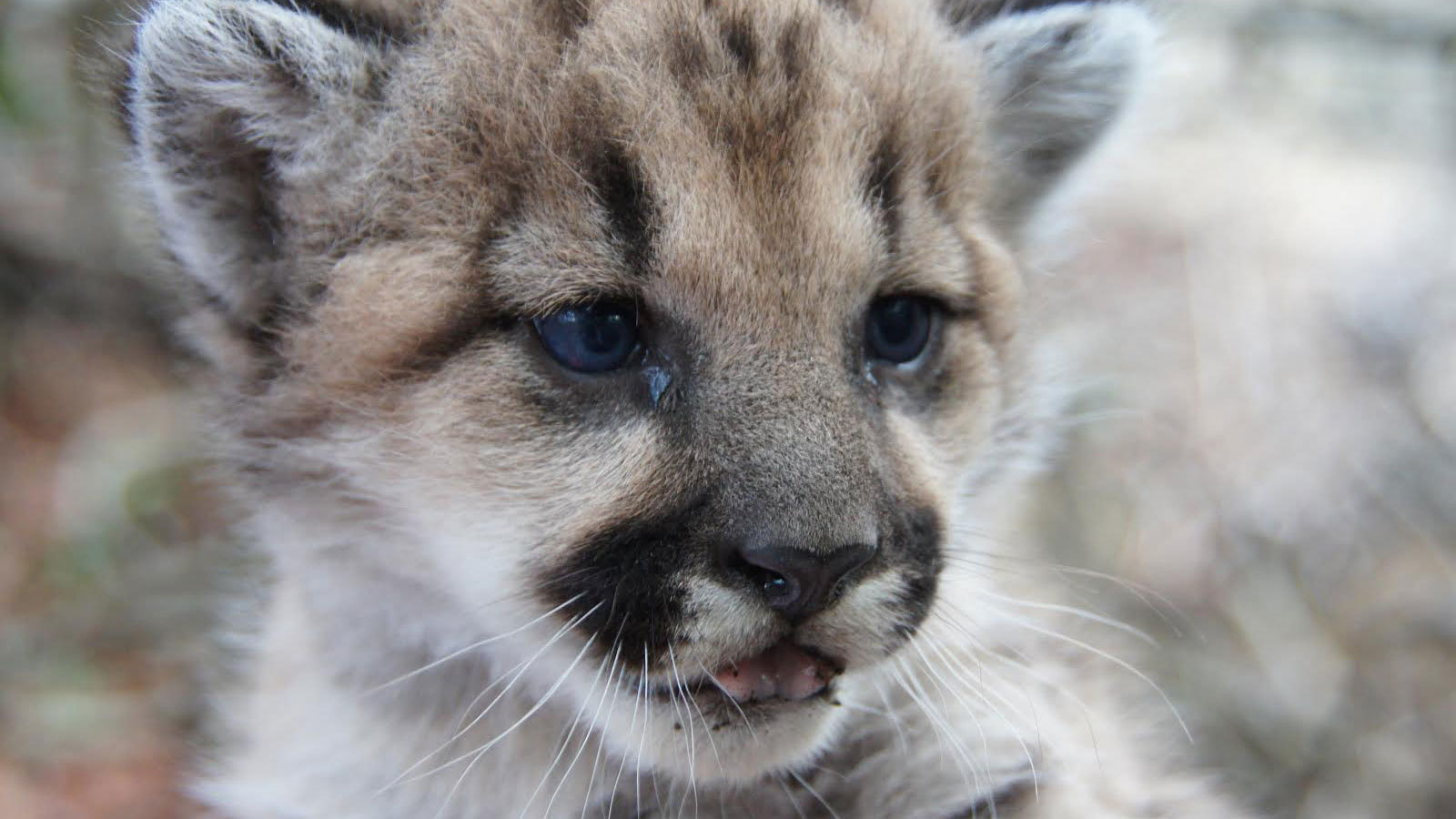 Cougars Near Me >> 'Save L.A. Cougars' works for wildlife crossing over 101 ...