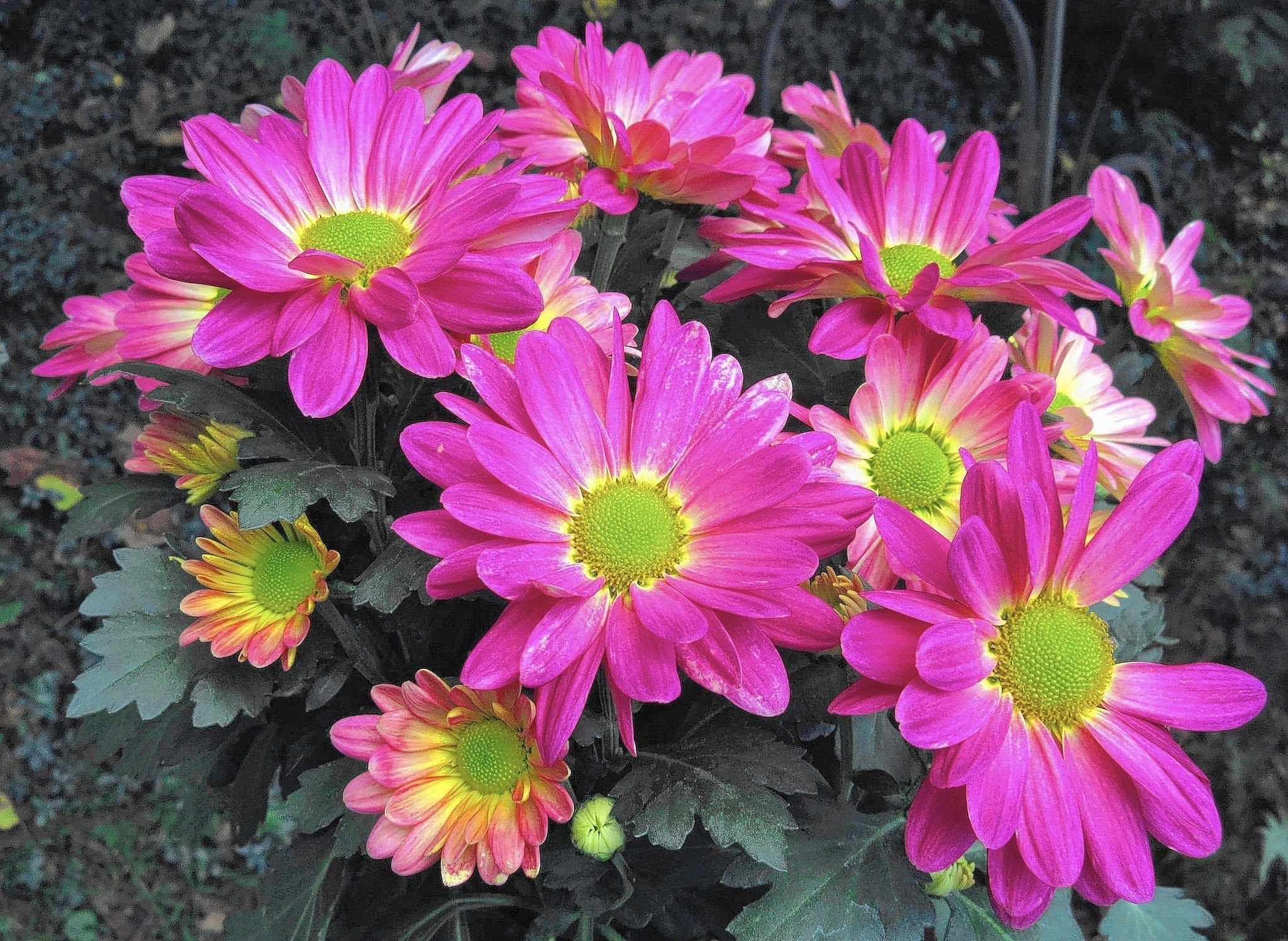 Tips For Keeping Hardy Fall Mums Alive For The Spring The Morning Call