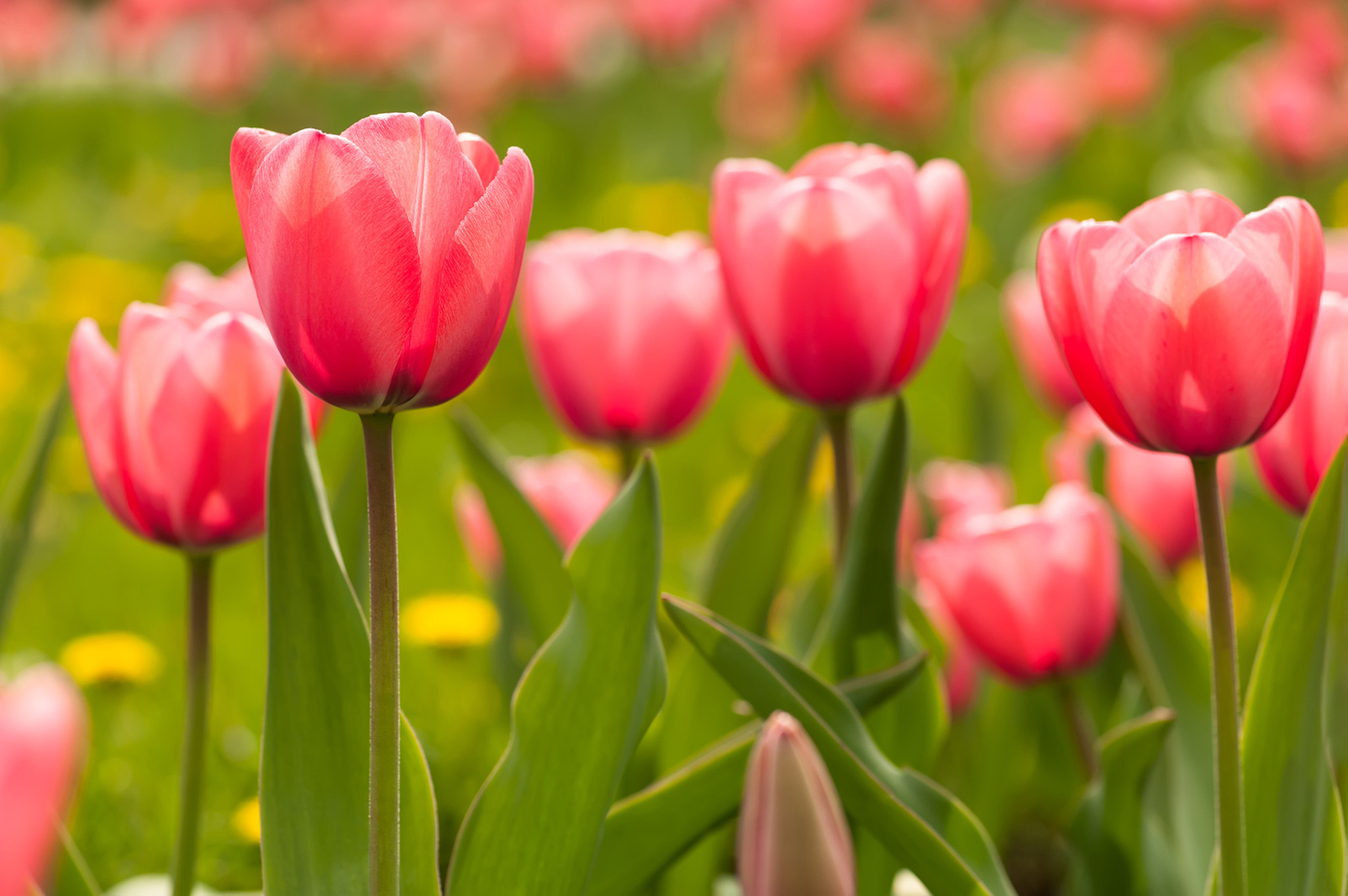 If You Want Tulips To Return, Here Are Some Tips