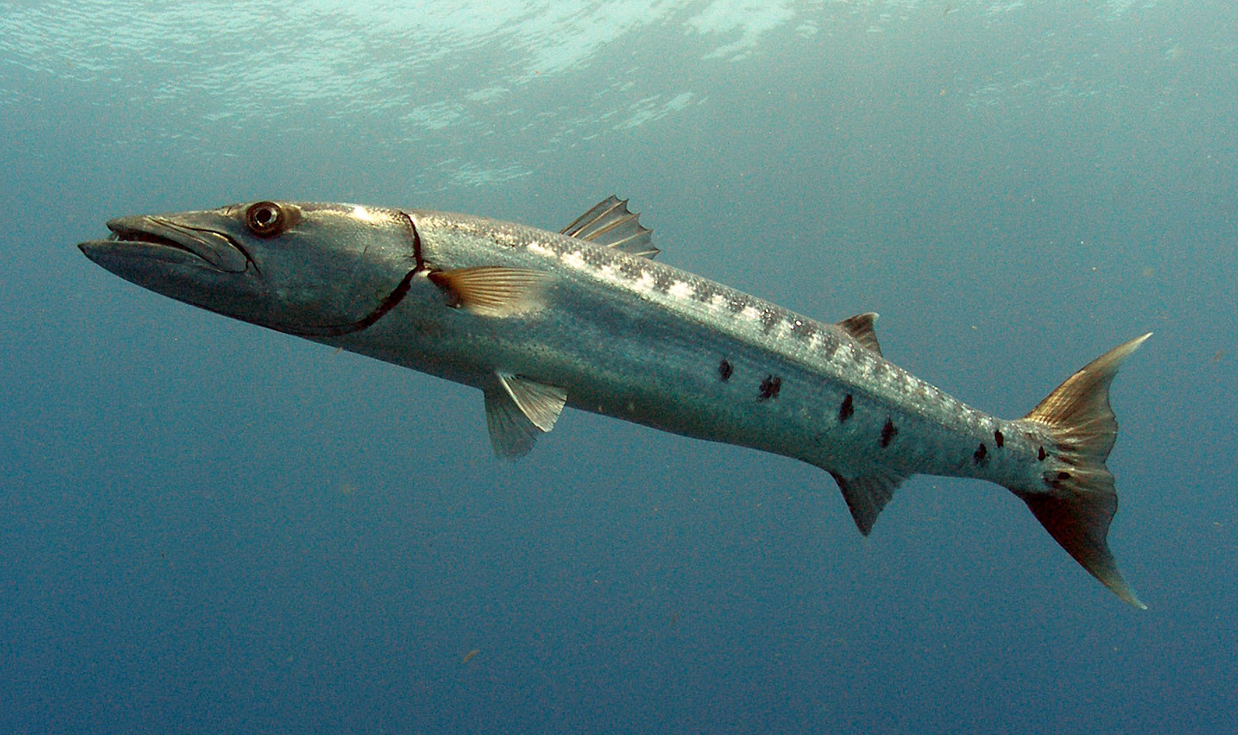 The great barracuda, a coastal predator known for needle ...