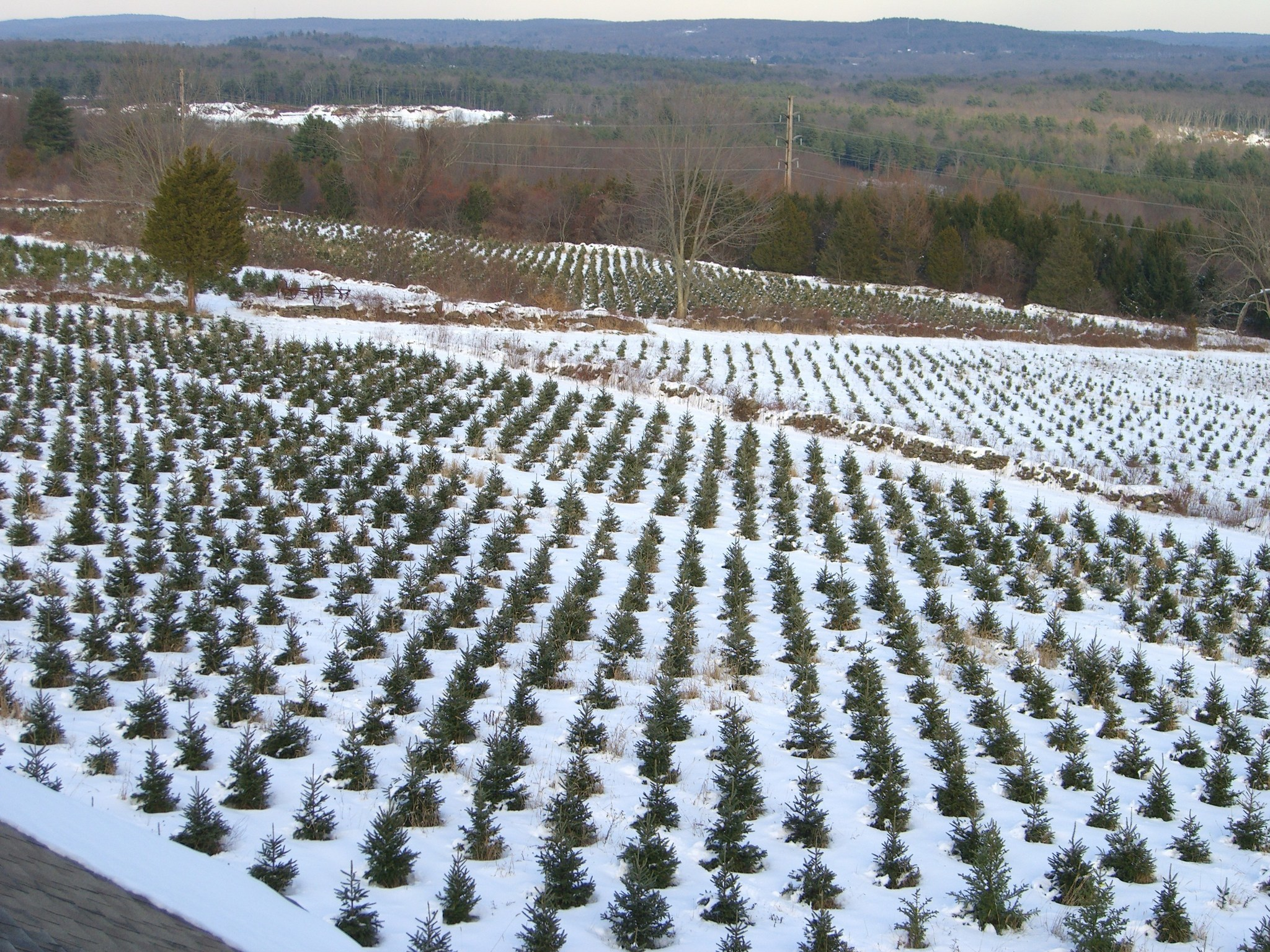 Christmas Tree Farms In Connecticut - Hartford Courant