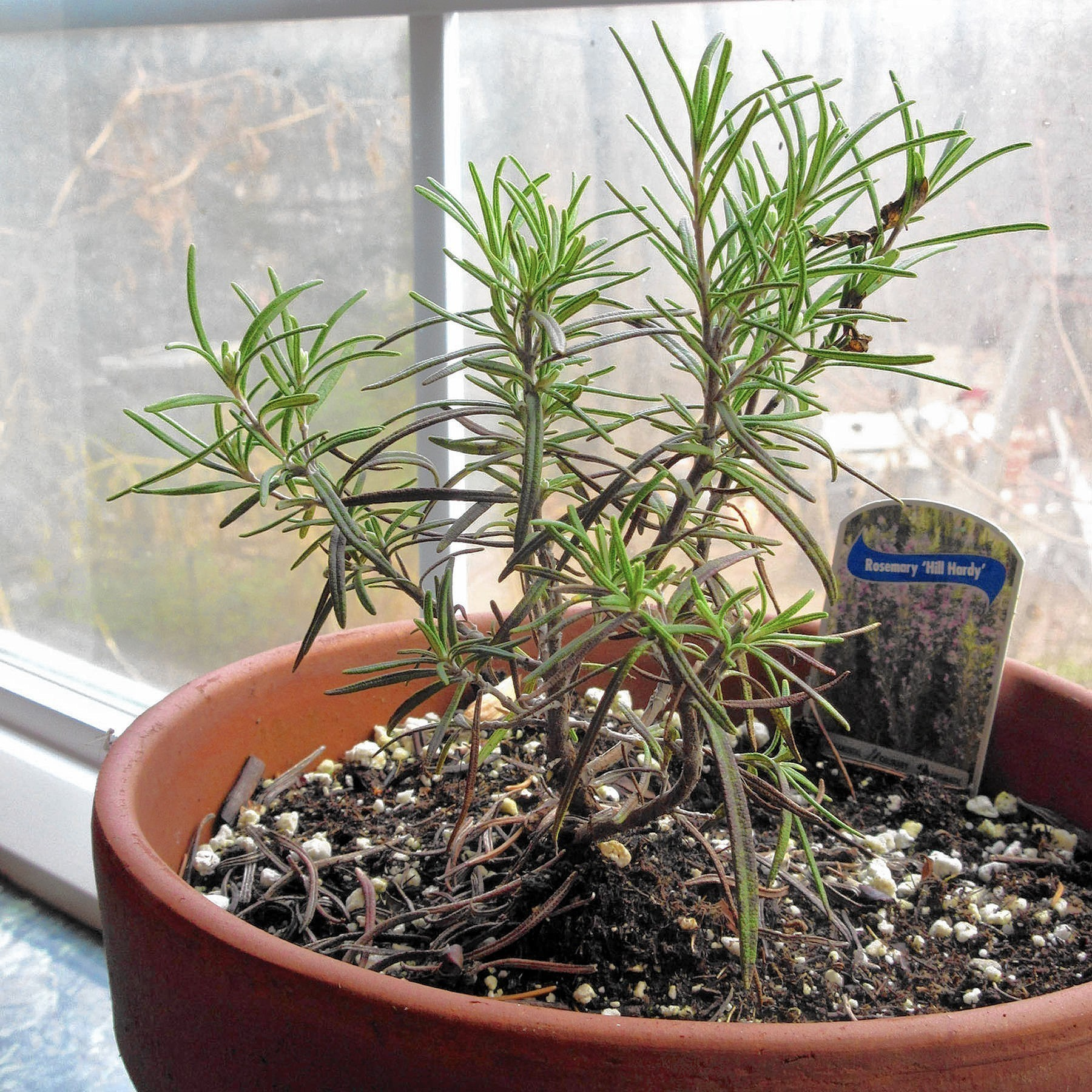 Easy Plants To Grow Indoors Tips For Keeping Rosemary Alive Through Winter The