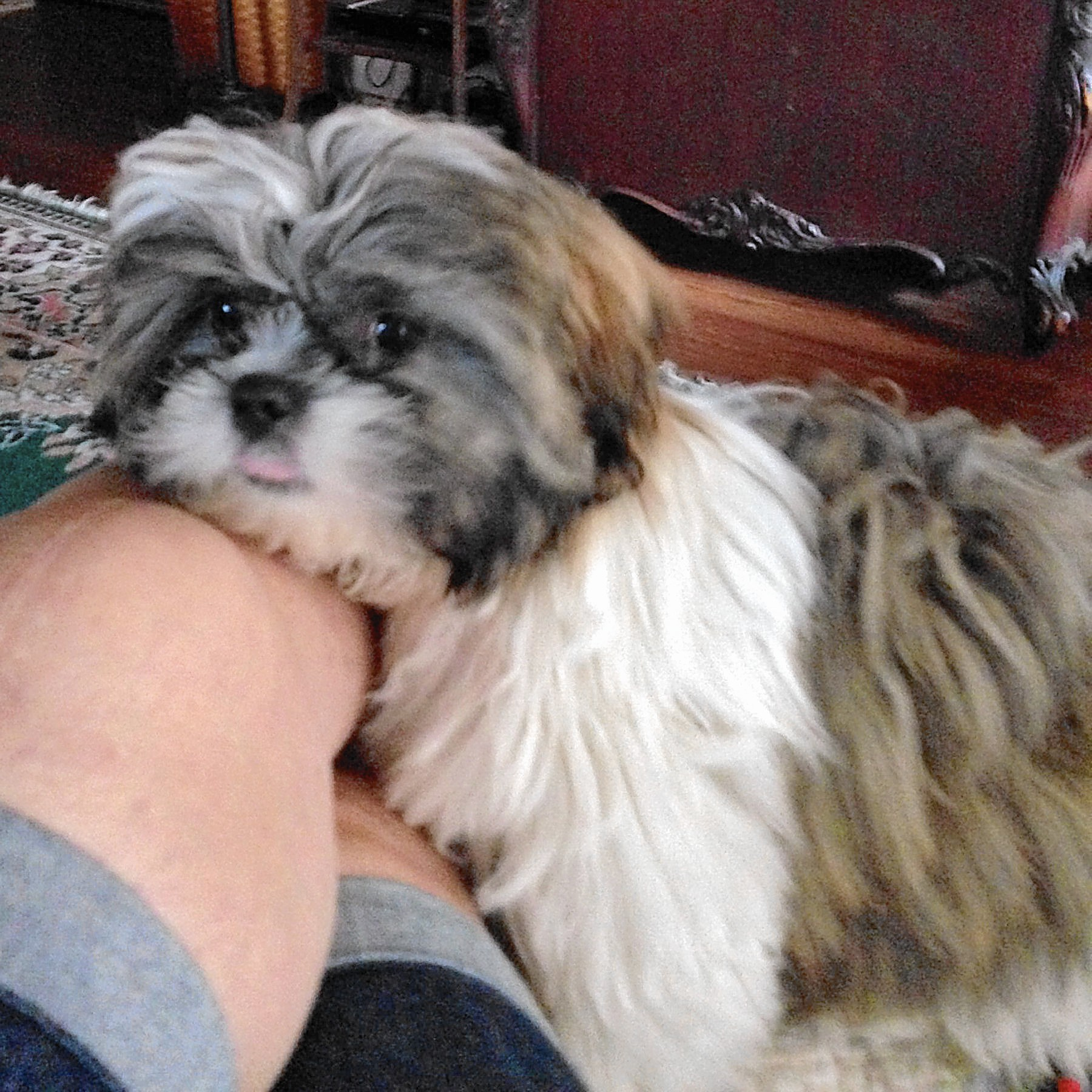 Bentley A 5 Month Old Shih Tzu Owned By Donna Kollar Of Allentown