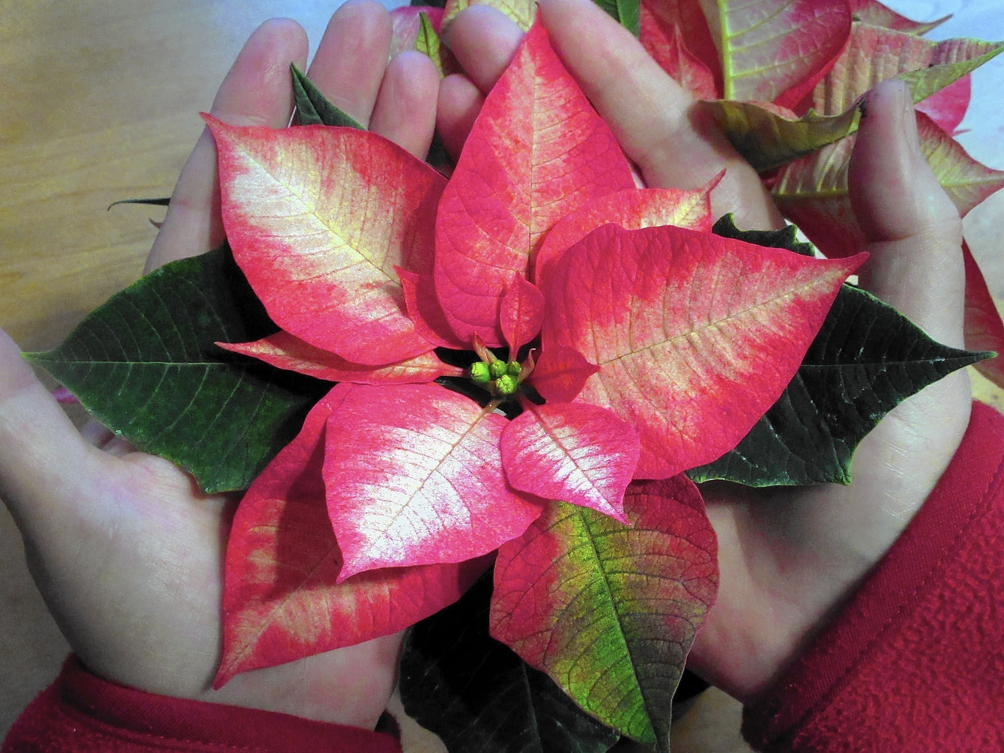 How To Care For Poinsettias Year Round The Morning Call