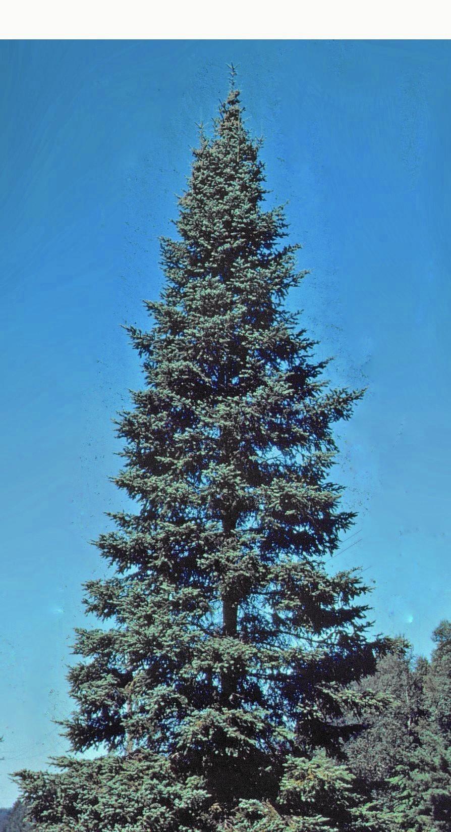 Christmas tree's iconic shape a nod to Germany's influence ...
