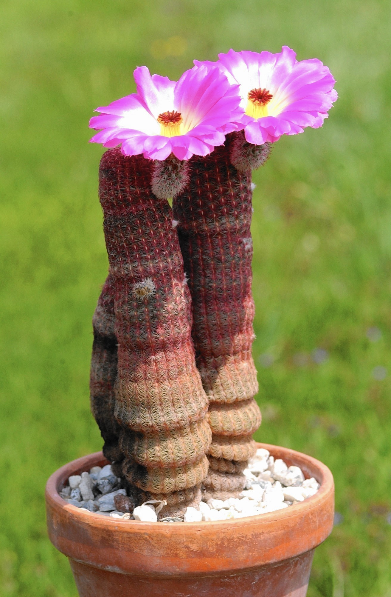 How Can I Get My Cactus Plant To Bloom The Morning Call