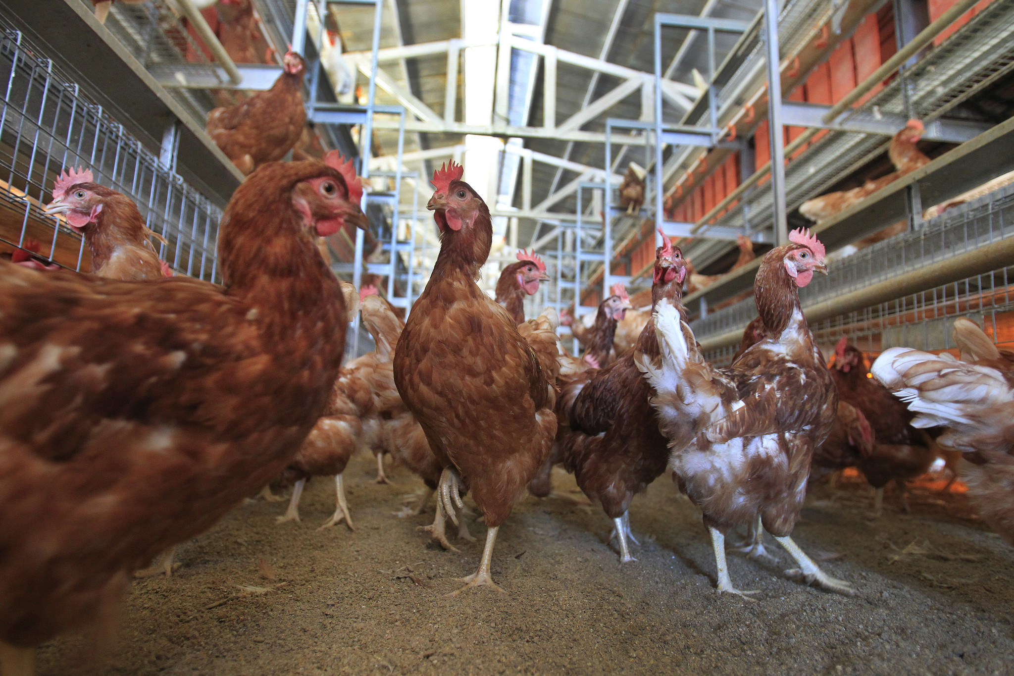 California S Egg Laying Hens To Get Their Breathing Room