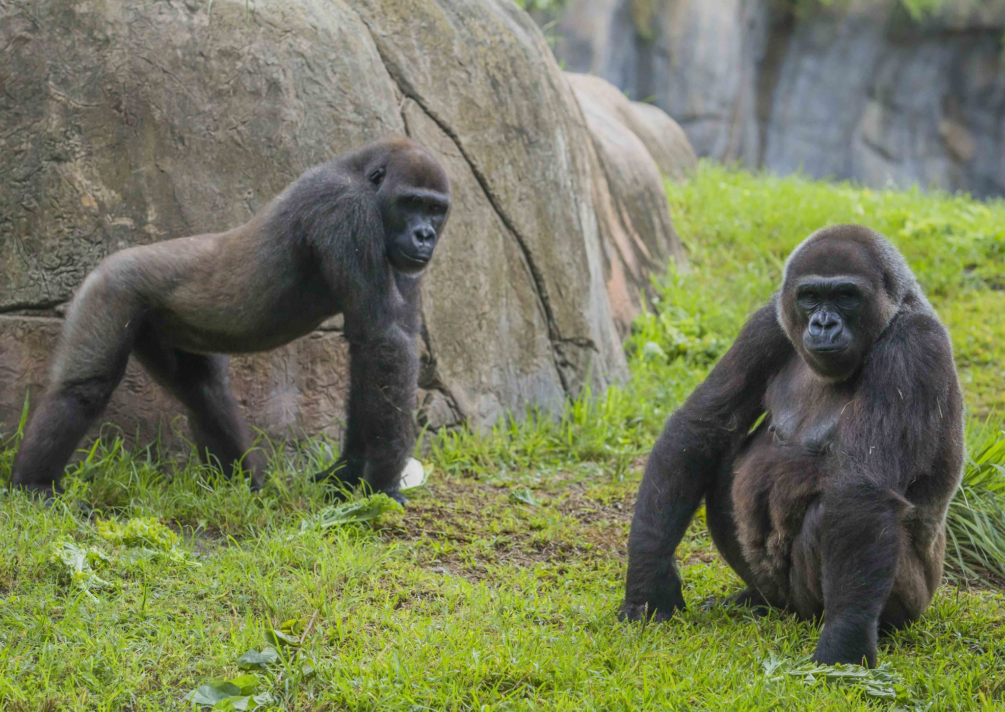 Busch Gardens Expecting Another Gorilla Birth Orlando