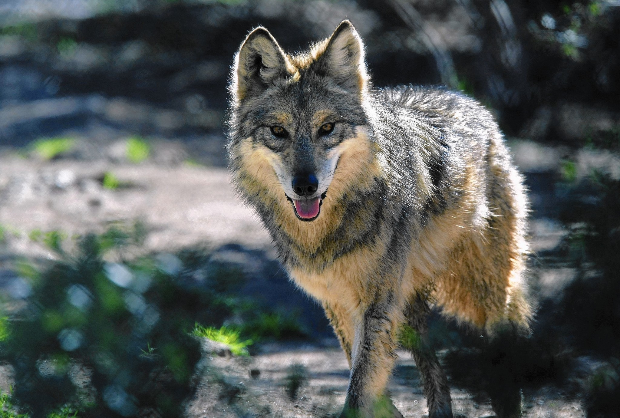 Image result for Mexican wolf