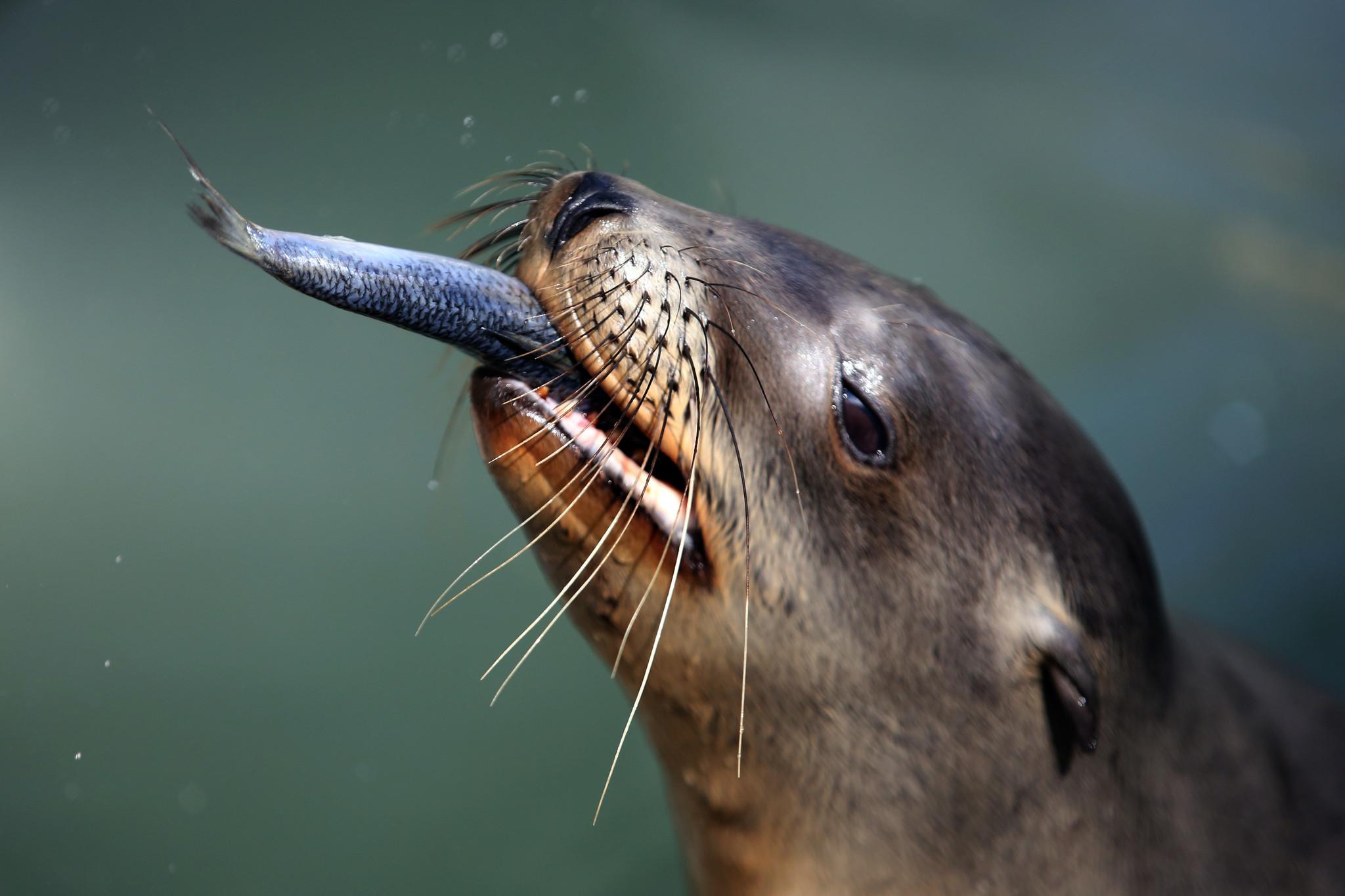California sea lion crisis: Warmer seas may be to blame ...