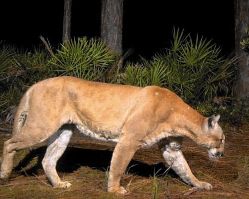 Georgia State College >> Experts say Florida panthers could be in Lake County - Orlando Sentinel