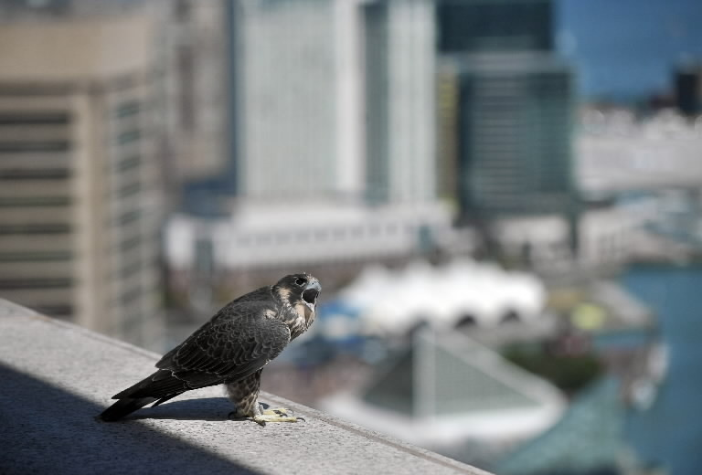 Life On The Ledge Webcame Watches Falcons Nesting Bmore Skyscraper