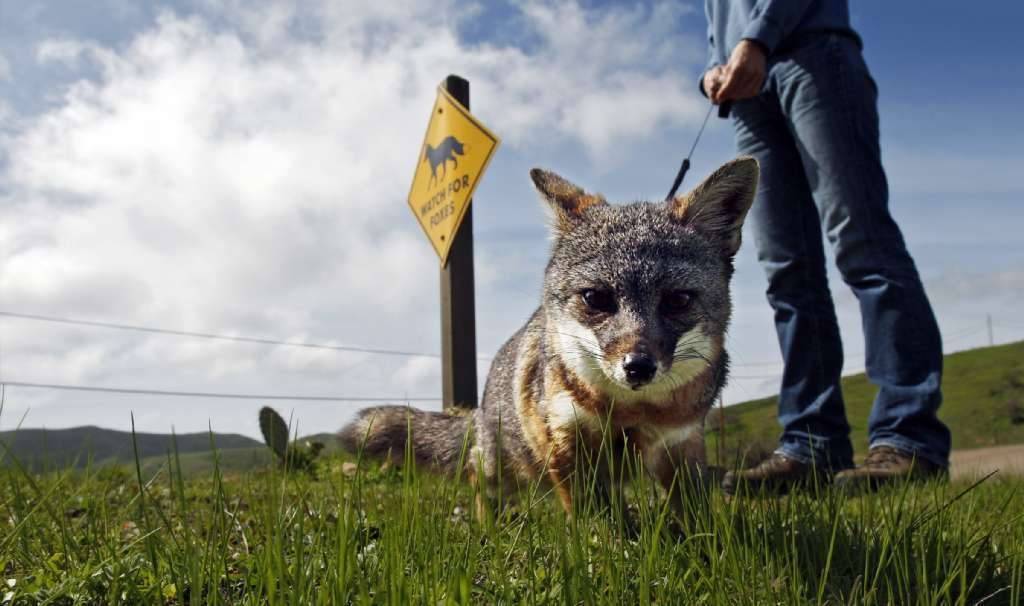 Catalina Island Fox Gains Numbers Greatest Danger Now