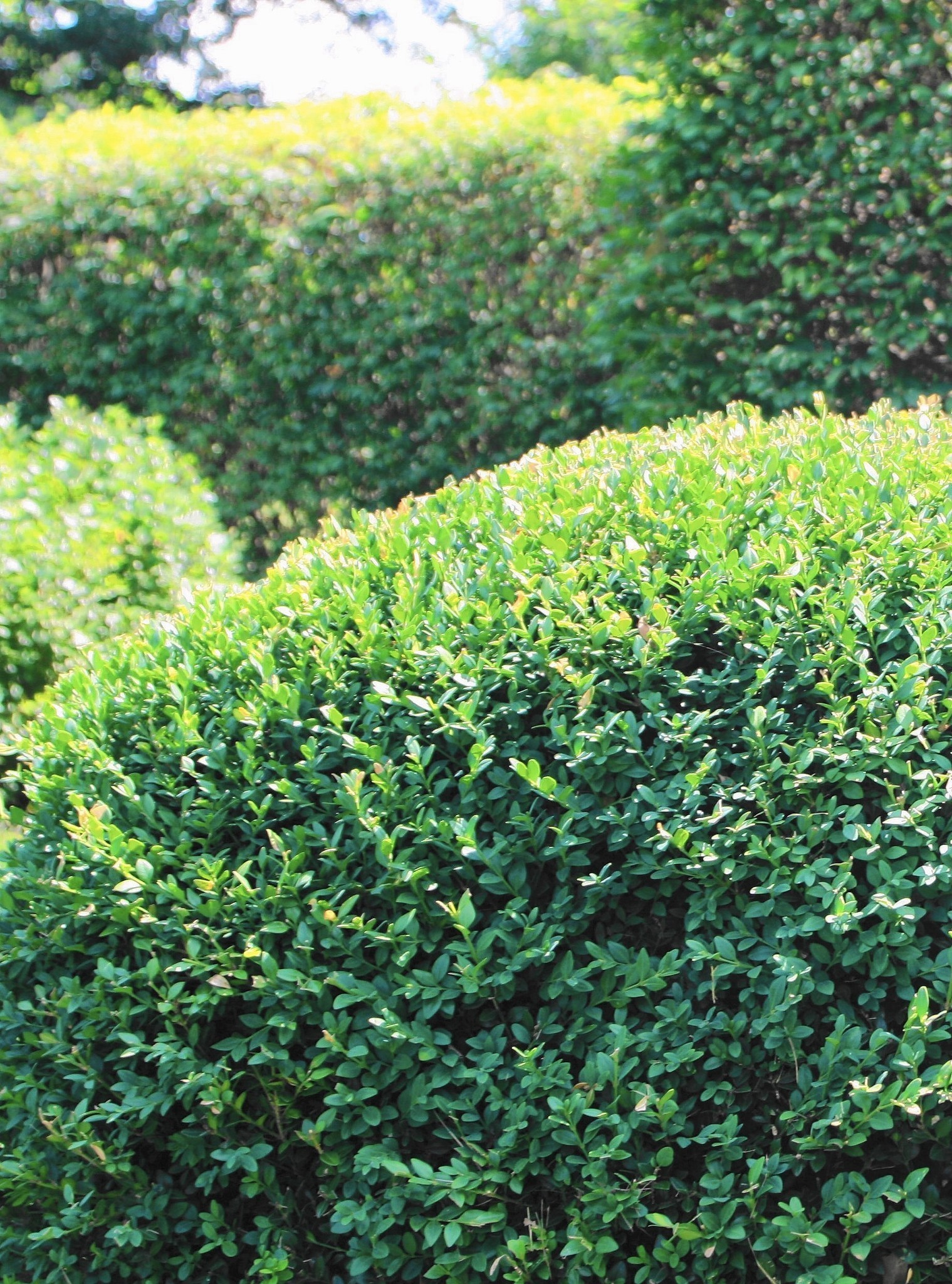 How To Help Damaged Evergreen Shrubs Rebound From Winter