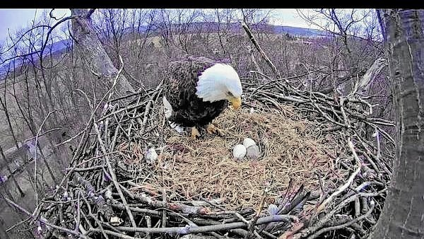 Eagles Nest York Pa >> York bald eagle questions answered - The Morning Call