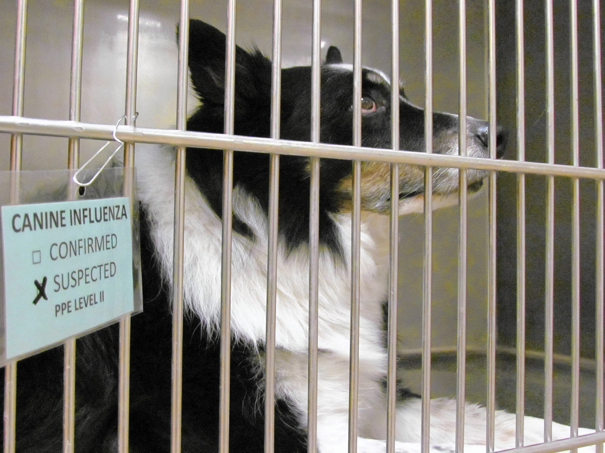 Update on Canine Influenza (Dog Flu) Outbreak Reported in Chicago Area