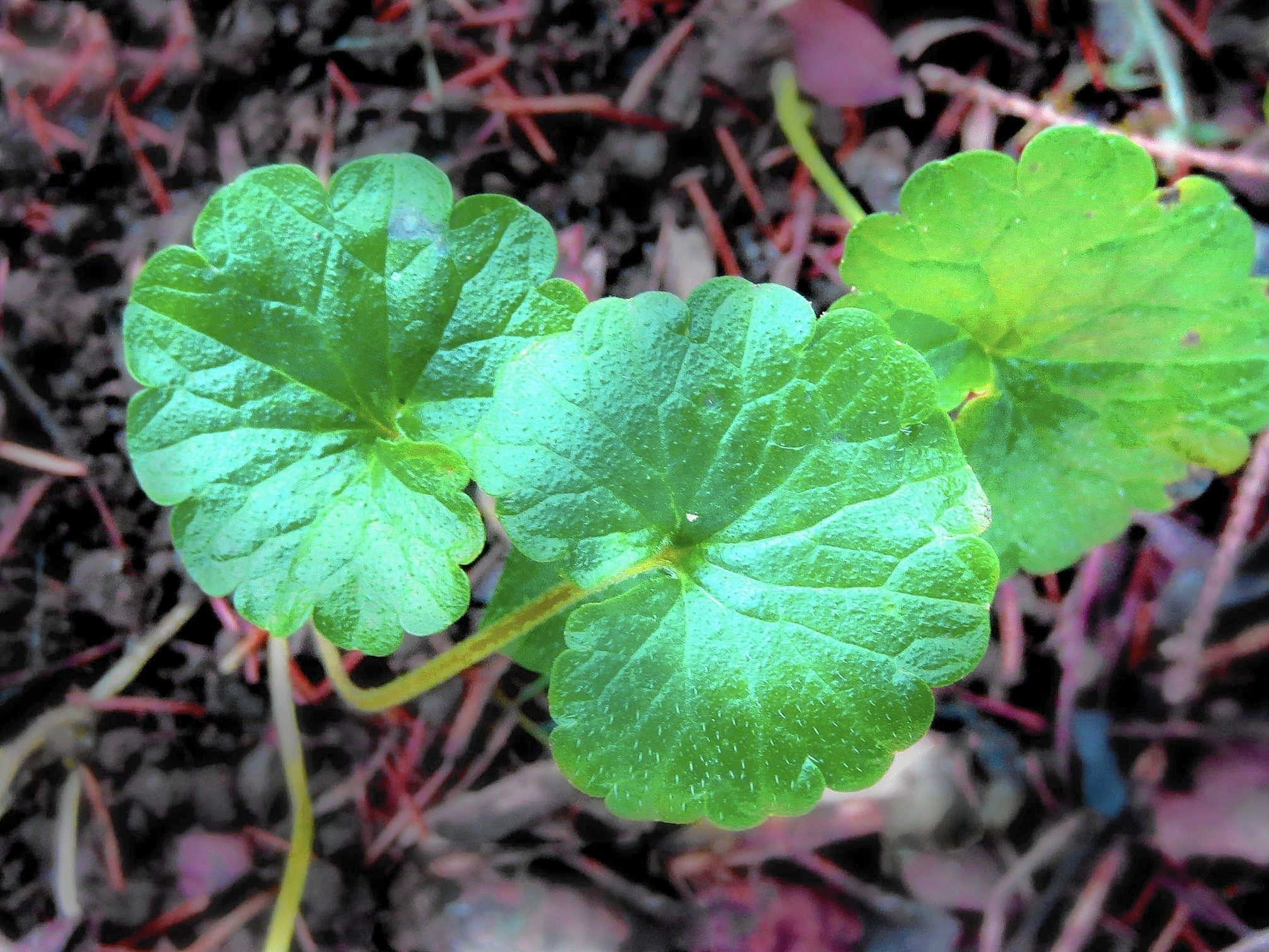 Whats The Best Way To Control Creeping Ground Ivy The Morning Call