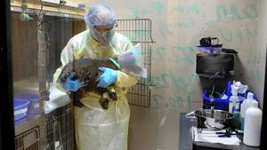 Chicago canine influenza epidemic traced to Asian strain