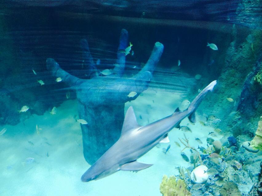 Sandbar sharks arrive at Orlando's Sea Life Aquarium ...