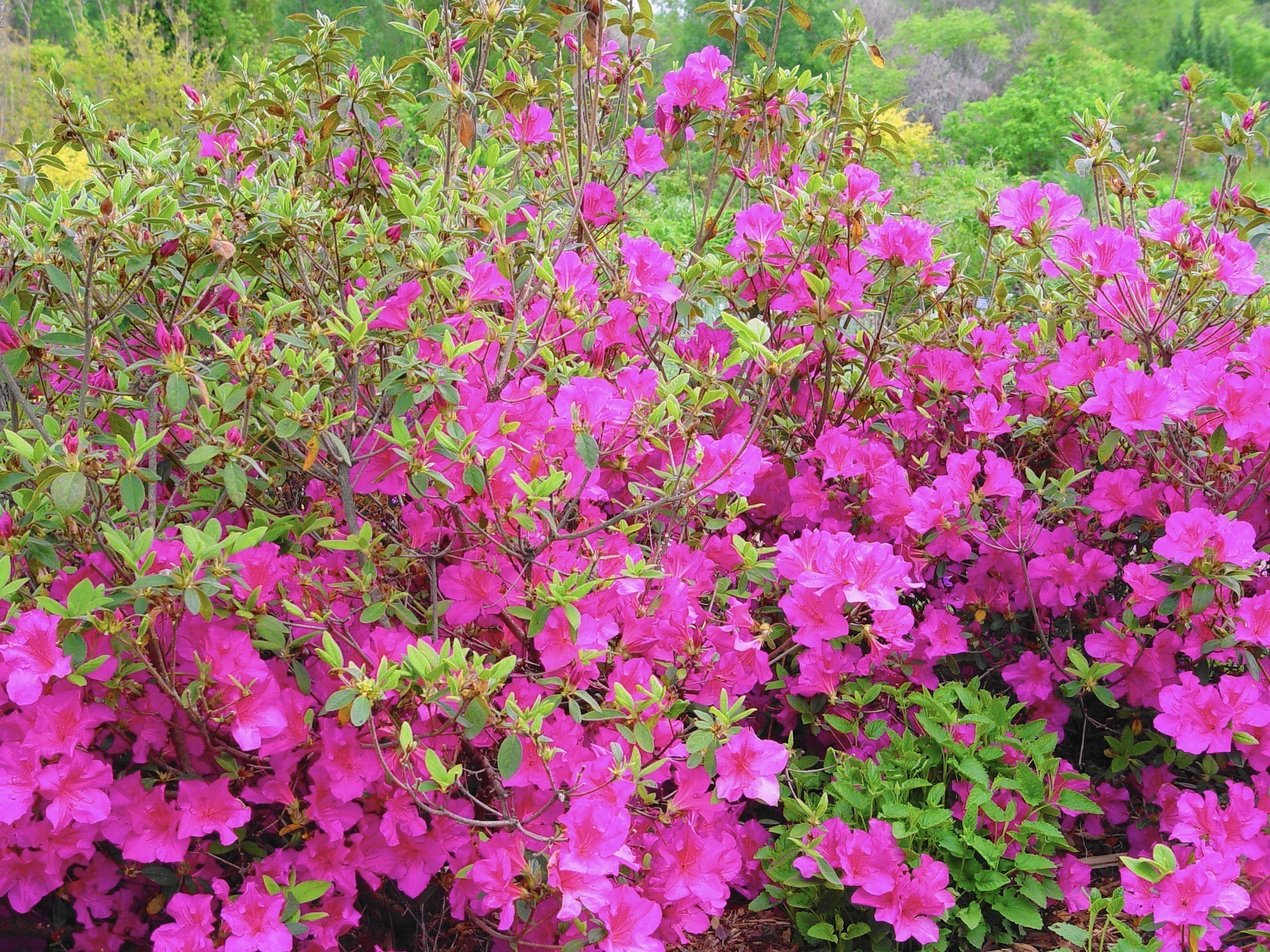 Gardening Prune Spring Bushes In The Week After Blooming