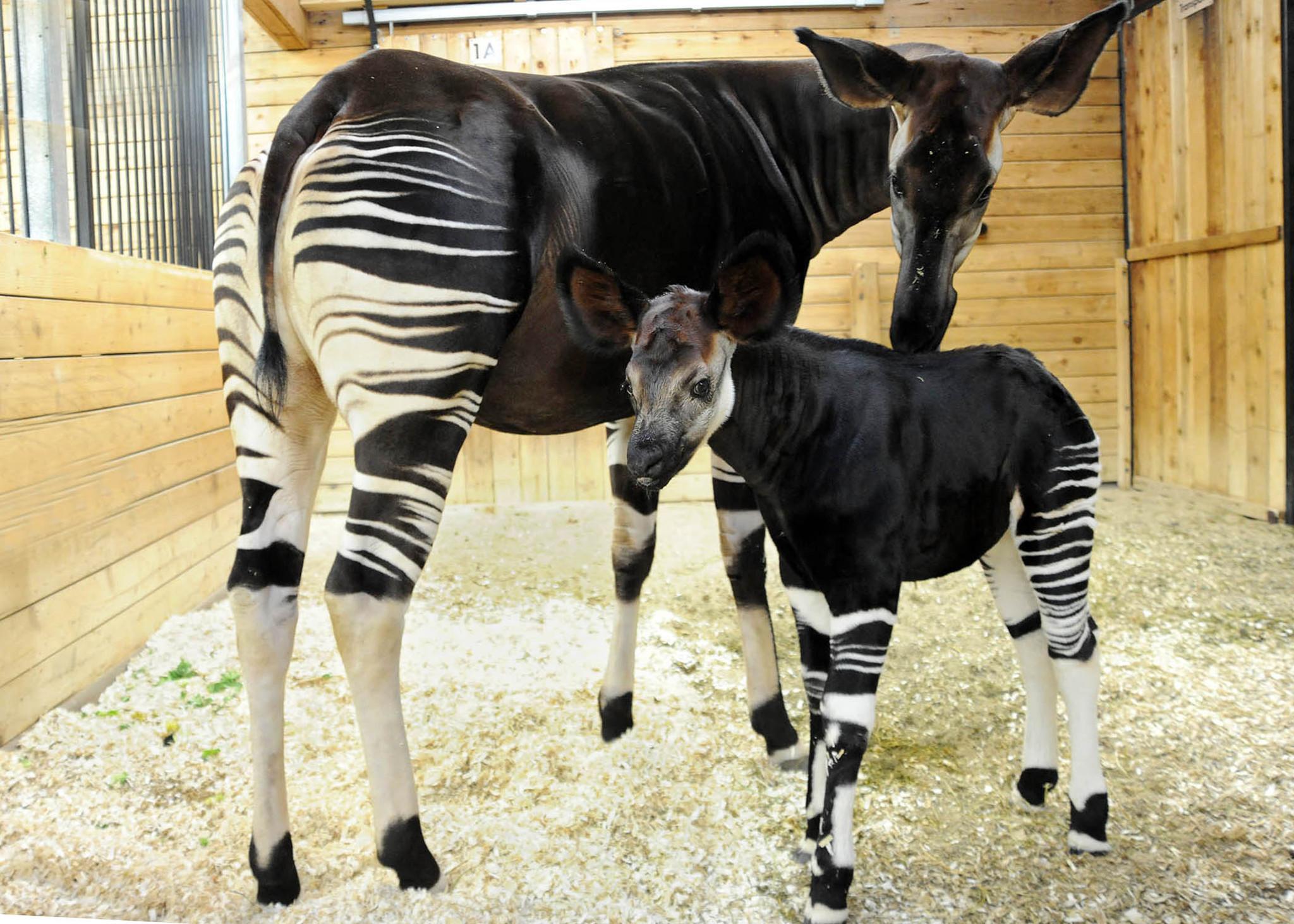 Okapi Calf Is Born At Brookfield Zoo Chicago Tribune