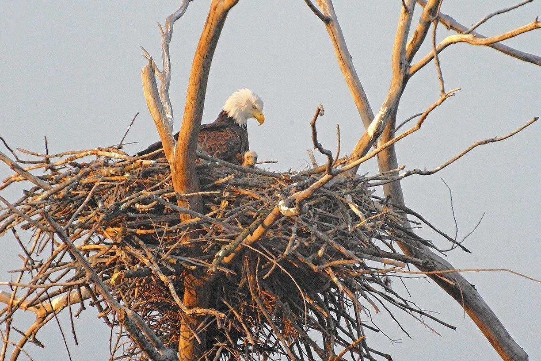 once endangered bald eagles nest amid herons in lake