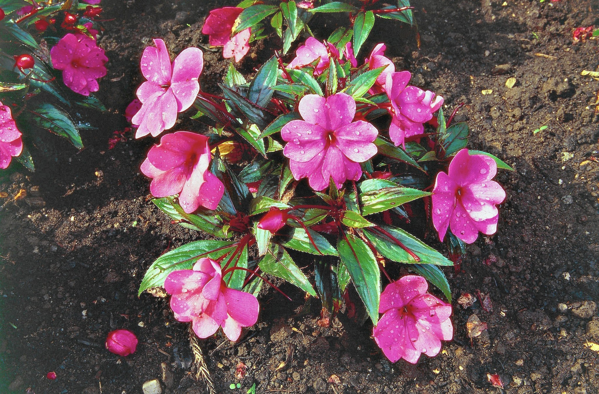 What Is Causing New Guinea Impatiens Wilt The Morning Call