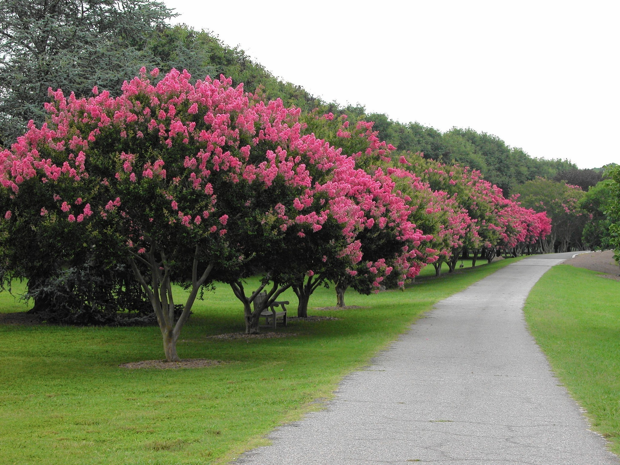 Gardening Column Festival Celebrates Crape Myrtles And