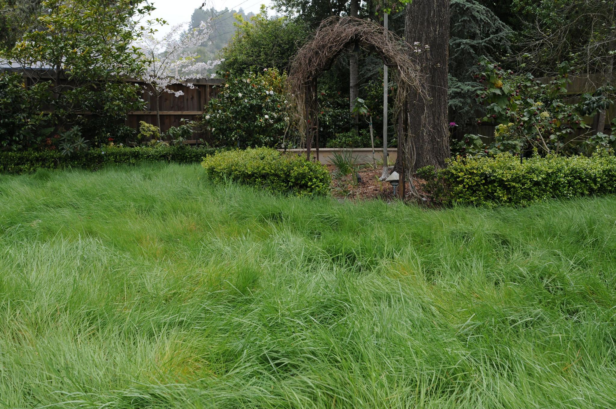 Native California bent grass